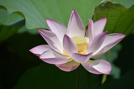 Lotus, flor, planta, Lotus nenúfar, natura, nenúfar, pètal