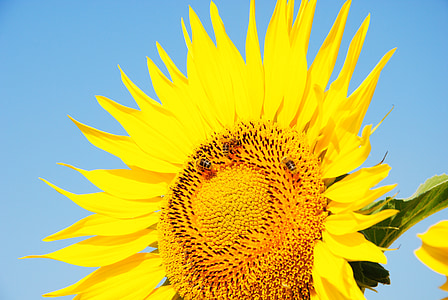 päevalill, päike, lill, kollane, suur lill, kollane lill, kollane oli