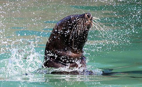 tiiviste, uida, Splash, vesi, Robbe, meeresbewohner, veden olento