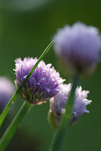 cebollino, puerro, flor, floración, Bud, comer, hierba