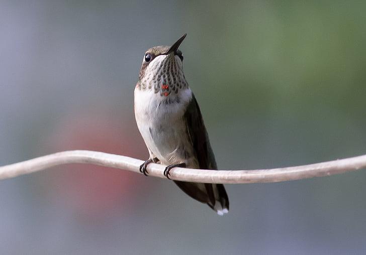 hummingbird, juvenile, ruby, bird, nature, wildlife, hummer