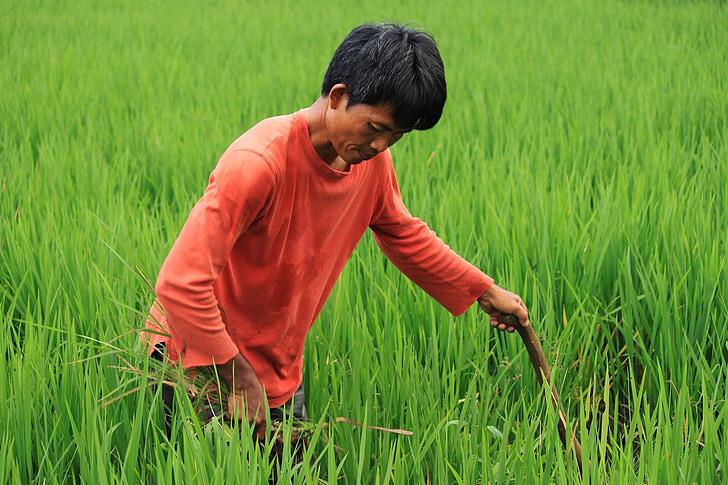 field, farmer, green, nature, rural, plant, padi