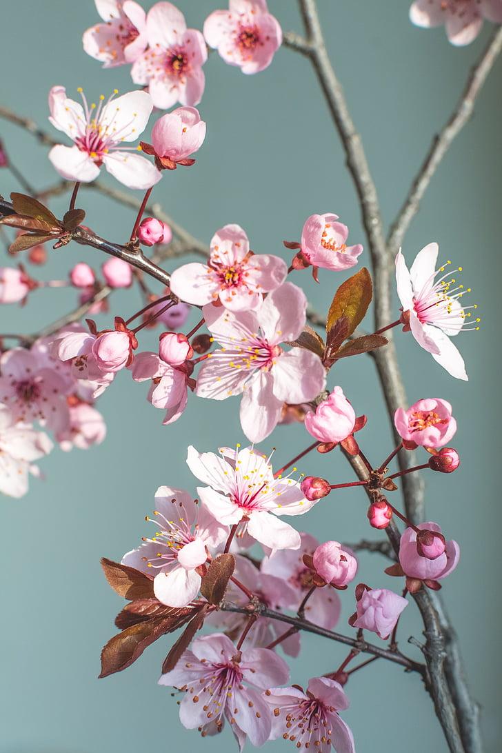 Пролет, цвете, природата, Чери Блосъм, Пролетни цветя, цветя, Пролетно цвете