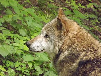 wolf, predator, wolf head
