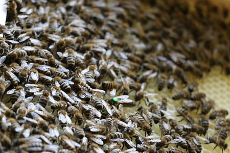 bees, combs, insect, queen bee, honey, beehive, beekeeper