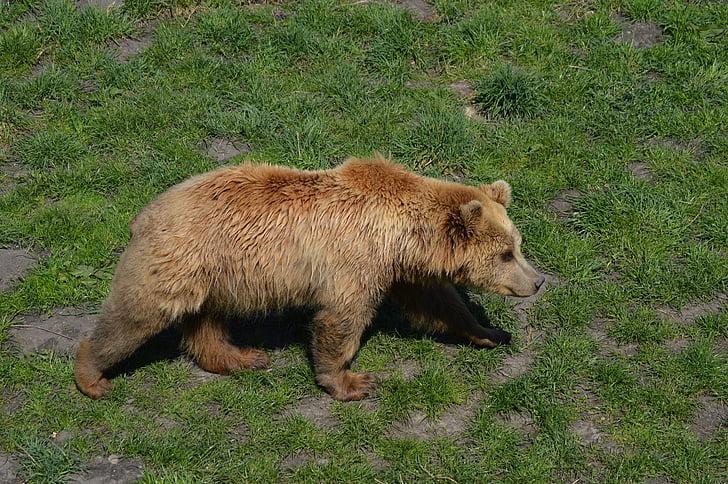 bear, brown bear, fur, animal world, dangerous, animal