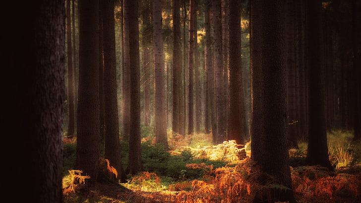 bosc, contes de fades, somni, mitologia, mística, llum del sol, arbre