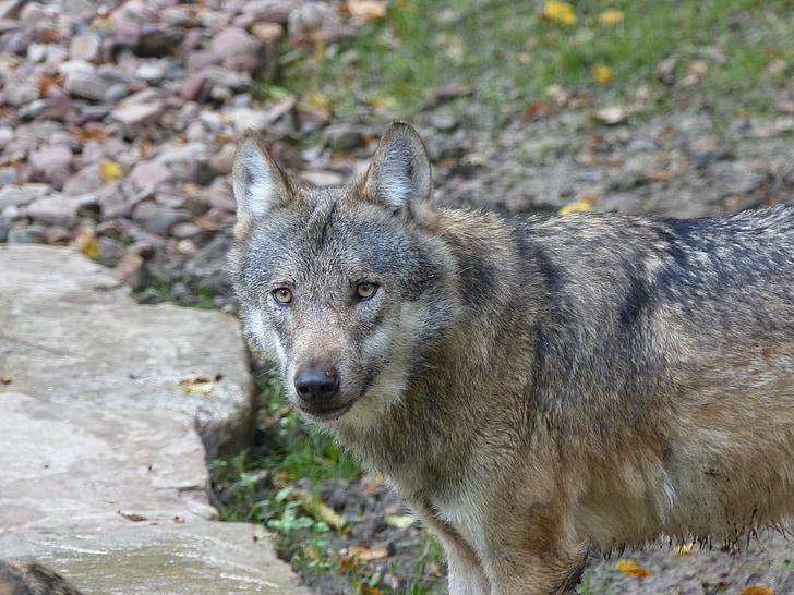 Vlk, Příroda, divoké zvíře, predátor, zvíře