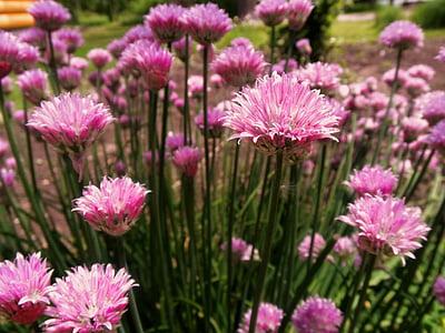 cebollino, flor, verano, hierba, jardín, planta, alimentos