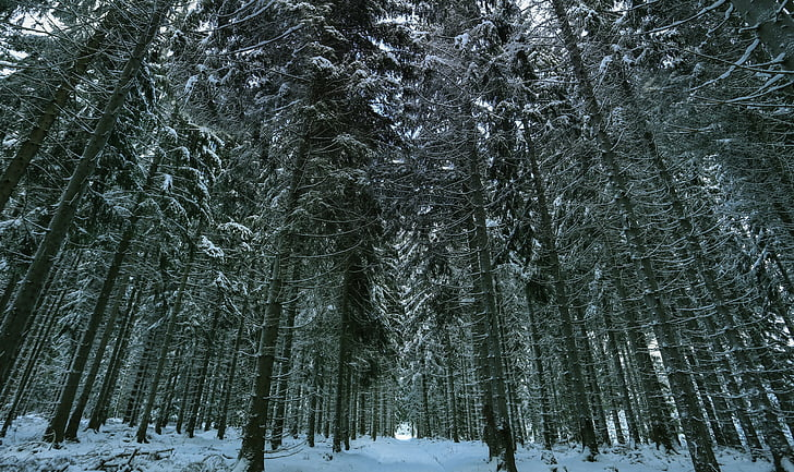 winter, snow, winter forest, wintry, white, nature, landscape
