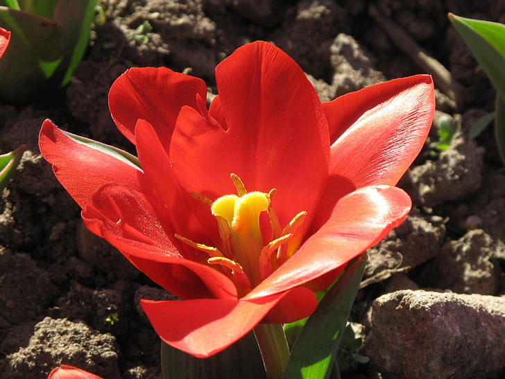 tulip, flower, macro, bloom, floral, red, yellow