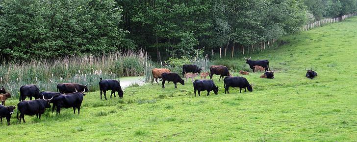 les pastures, bestiar, herba, paisatge, natura, vedells, ramat