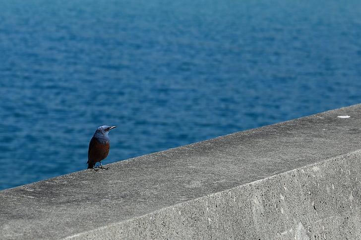 метод bulbul, Окинава, птица, море, вълнолом, птици на морето, диво животно