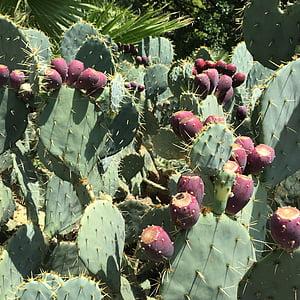 cactus fruit, cactus, prickly, thorn