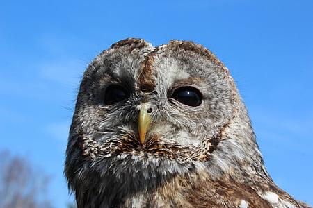 tawny owl, owl, bird, falconry, animal, nocturnal, bird of Prey