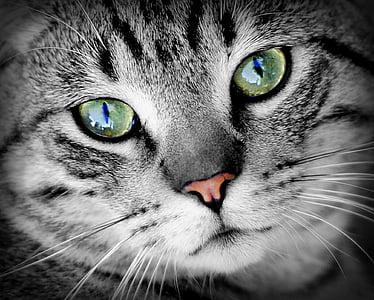 pisica, animale, portret de animale, animal de casă, pisici domestice, mamifer, blana
