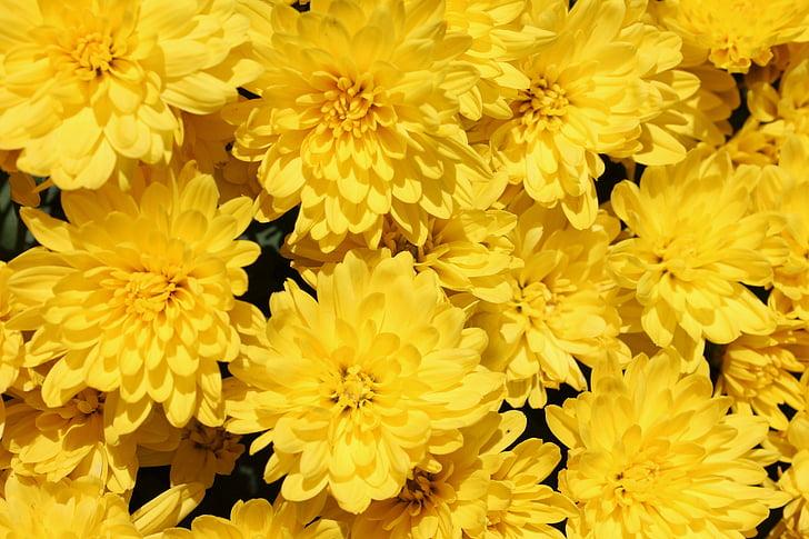 flors grogues, groc, jardí, flors, l'estiu, floral, flor