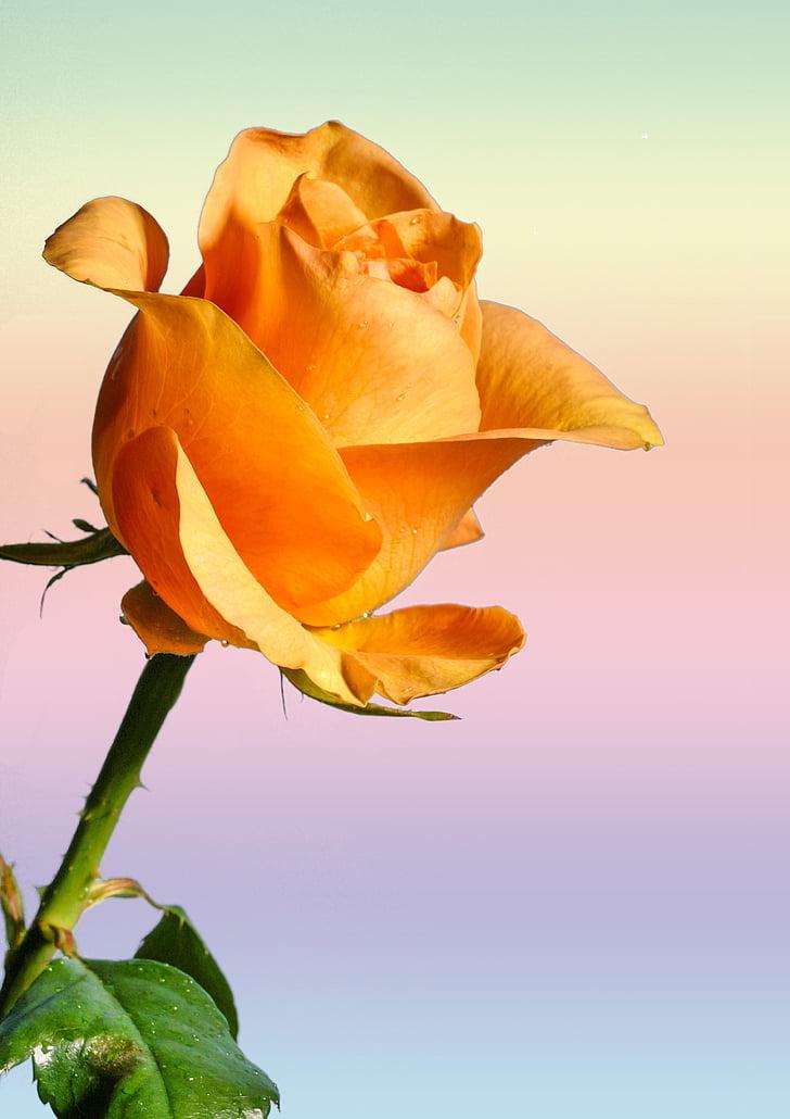 Rosa, flor, flor, flor, planta, Rosa, Rosa de jardí