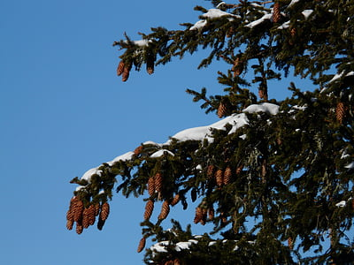 tap, pine cones, spruce, picea, pine greenhouse, western, common