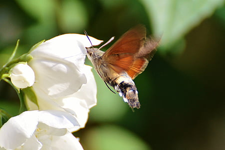 hummingbird hawk moth, butterfly, moth, insect, wing, fly