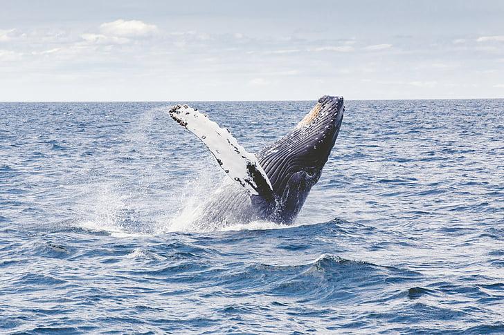 чорний, сперми, кит, що розвиваються, фронт, океан, поверхня