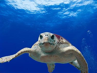 Cserepes teknős, tenger, óceán, víz, víz alatti, hüllő, úszás