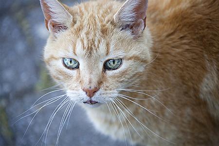 cat, cat's eyes, cat portrait, fur, view, animal, domestic Cat