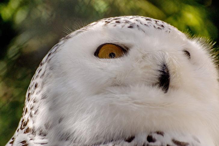 Tunturipöllö, lintu, mountsberg raptor center, Luonto, muotokuva, Wildlife, Raptor