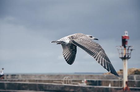 harmaa, valkoinen, lokki, Flying, siipi, lento, yksi eläin
