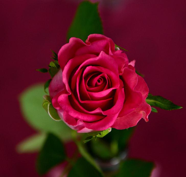 กุหลาบ, สีชมพู, ดอก, บาน, ดอกไม้, ดอกกุหลาบ, ดอกไม้ดอกกุหลาบ