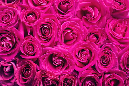 pink roses, roses, background, backdrop, pink, romance, romantic