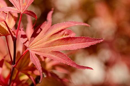 σφενδάμι, κόκκινο, Ιαπωνία, Ιαπωνικά, δέντρο, φύλλο, το φθινόπωρο