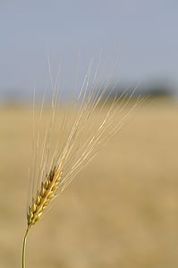 grain, wheat, field, cereals, spike, nature, food
