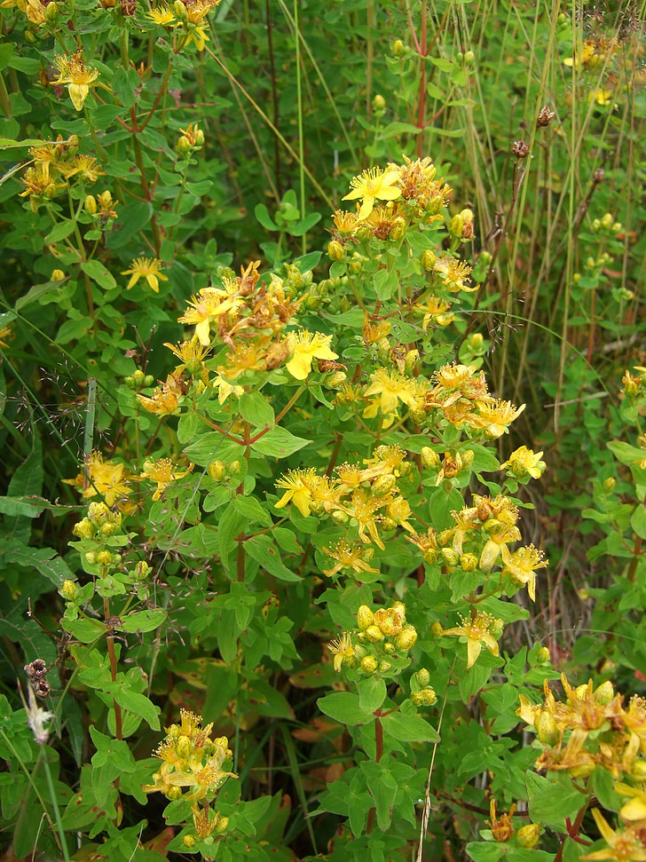 herbes silvestres, herba de Sant Joan, herbes medicinals, herbes salvatges, fitoteràpia, Naturopatia, planta medicinal