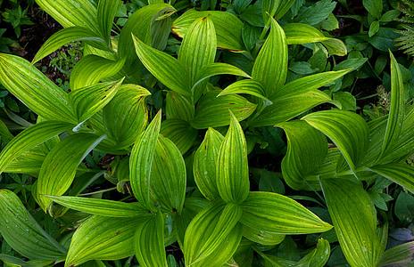 植物区系, 草, 绿色, 药草, 爱达荷峰, 叶子, 植物