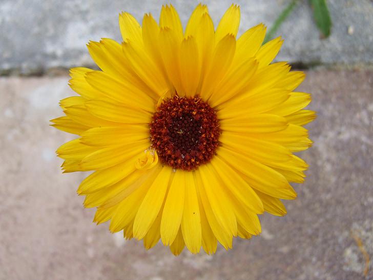 Goudsbloem, bloem, plant, kruid, Tuin