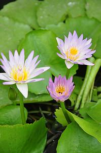 Barva, Lotus, Thajsko lotus, Vodní lilie, Příroda, rybník, závod