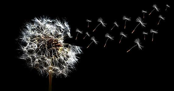 dent de Lleó, tancar, llavors, celebració, nit, explosió, color negre