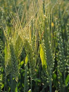 barley, barley field, cereals, field, agriculture, grain, ear