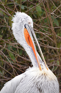 pelican, bird, animal, waterfowl