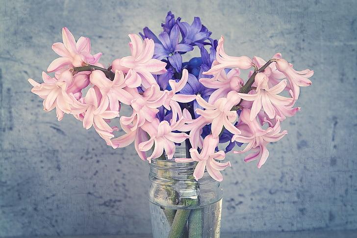 hiacintas, gėlės, rožinė, mėlyna, Pavasario gėlė, kvepiančių gėlių, schnittblume