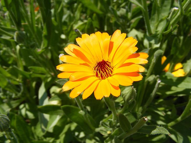 antiseptique, bactéricide, Calendula, fleurs, Herb, Marigold, médicinales