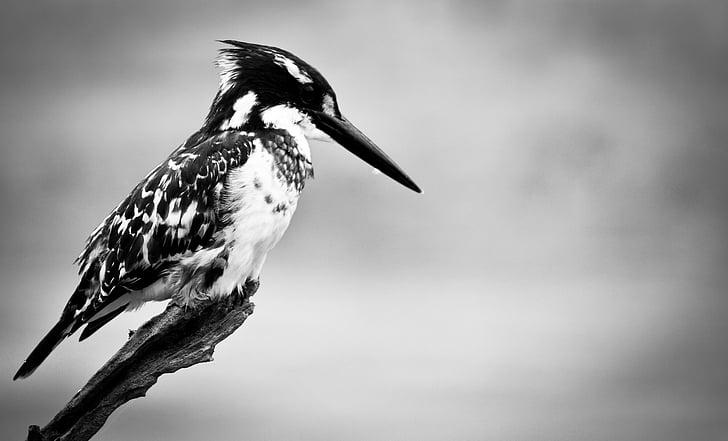 Vodomar, ptica, priroda, životinja, biljni i životinjski svijet, kljun, pero