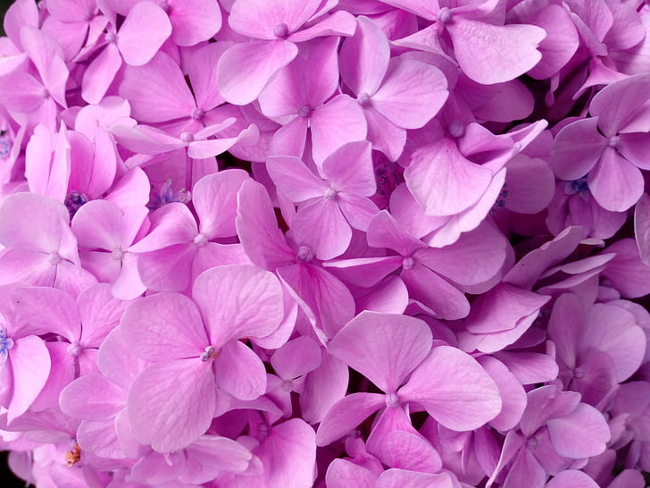 hydrangea, petal, texture, pink color, purple, flower, large group of objects