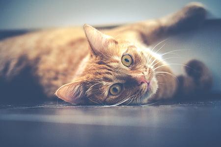 猫, ペット, 横になっています。, 赤, 動物, かわいい, かわいい猫
