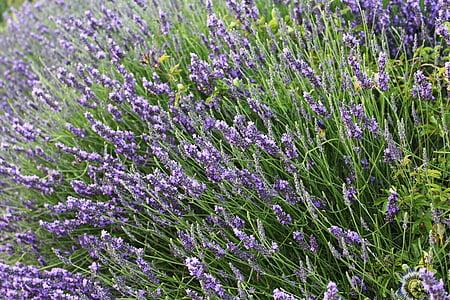 lavanda, Provença, França, l'estiu, olors, violeta, flor
