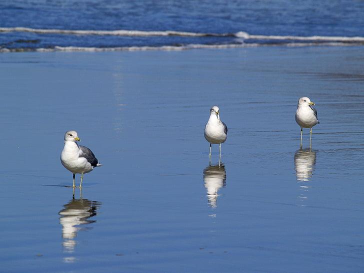 Seagulls, Beach, vee, Ocean, Vaikse ookeani, liiv, loodus