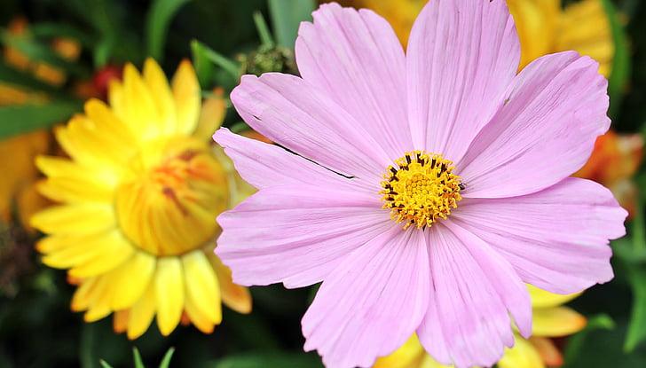 cosmos, cosmea bipinnata, flower, blossom, bloom, pink, yellow