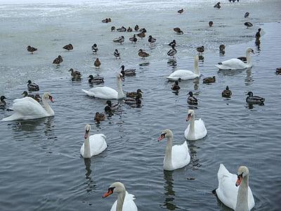 лебеди, утки, пруд, озеро, Зима, Вальдфиртель, Нижняя Австрия