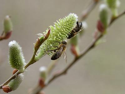 Fresno, floració, abelles, Libar, insecte, natura, close-up